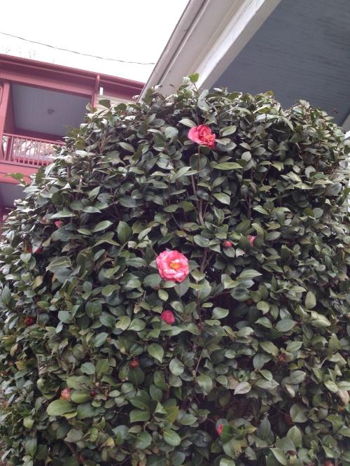 Camellias near MLKings's birthplace